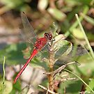 'Little Red Dragonfly' by Scott Bricker