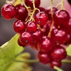 Redcurrants by SylviaHardy