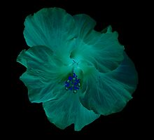Inverted Peach Hibiscus Beauty by Debbie Robbins