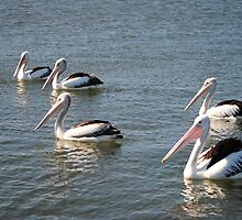 Pelicans by JuliaWright