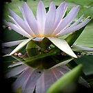 Water Lily Reflection ll by Patty Boyte