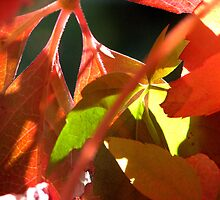 Boston Ivy Autumn - Daylesford Victoria by SuziTC