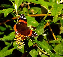 Red Admiral Butterfly by Trevor Kersley