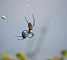 BANANA SPIDER AT WORK by imagetj