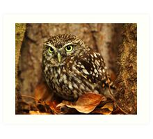 Little Owl (Athene noctua) Art Print