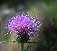 Thistle by Lucinda Walter