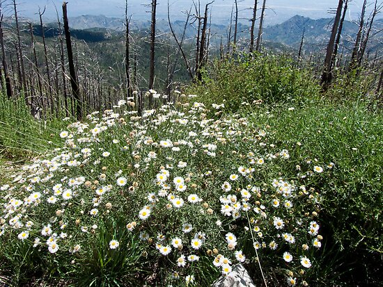 Bouquet  of Wildflowers ~ Mt. Lemmon Ski Valley  by Lucinda Walter