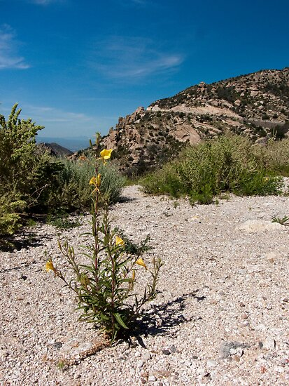 Wildflowers Along Sky Island Scenic Byway to Mt. Lemmon by Lucinda Walter