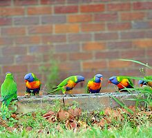 Rainbow Lorikeets In Our Yard. Brisbane, Queensland,  Australia by Ralph de Zilva