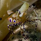 Spotted Cleaner Shrimp by Todd Krebs