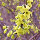 Forsythia's Glory Day by teresa731