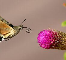 Hummingbird Hawk Moth by David Clark