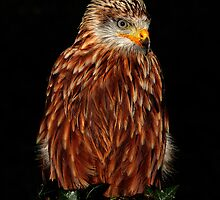 Red Kite (Milvus milvus) Portrait by Norfolkimages