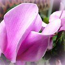 Cyclamen Petals by EdsMum