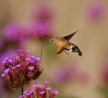 Hummingbird moth by roumen