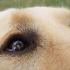 Eye Spy Reflections - Dougal the Guide Dog by cookieshotz