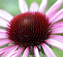 Echinacea by OpalFire