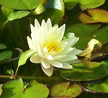 Yellow Water Lilly by Gene Ritchhart