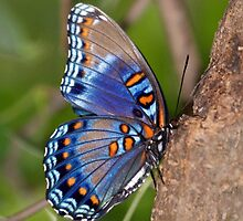Blue Butterfly by Sandy Keeton