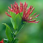 Dew drops - Grenada by Jonathon Speed