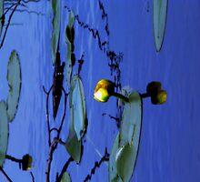Lily Pad Reflections by Jennifer Murray