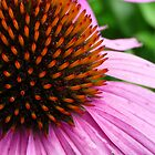 Pink Coneflower (Echinacea Purpurea Magnus) by Marcia Rubin