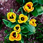 Yellow tulips. by OlurProd