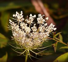 Queen Ann's Lace by vigor