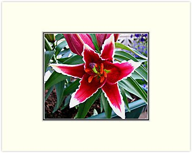 Vibrant Pink Asiatic Lily by BlueMoonRose