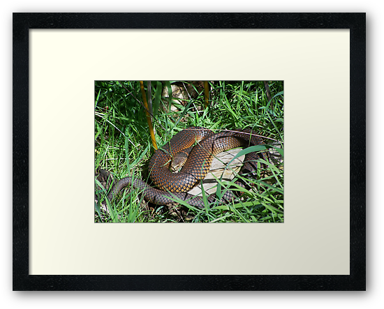 Copperhead Snake by Matthew Sims
