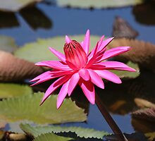 WATER LILY by TomBaumker