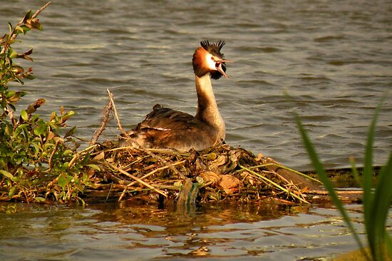Great Crested Grebe on Nest by Jo Nijenhuis