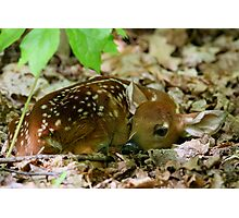 Newborn / White-tailed Deer Fawn Photographic Print