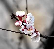 The first apricot blooms by Elizabeth Kendall