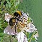 Yet more bees by Paul Hickson