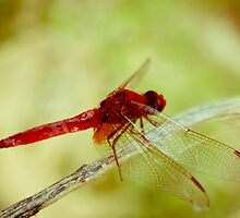 Red dragonfly by Iuliana Evdochim