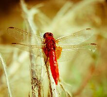 Dragonfly by Iuliana Evdochim