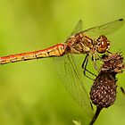 Adult Female Vagrant Darter by Robert Abraham