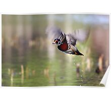 Wood duck takes flight Poster
