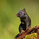 Black Eastern Chipmunk - Ottawa, Ontario by Michael Cummings