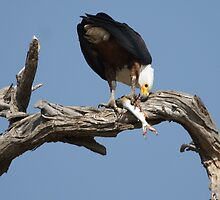 African Fish eagle eating a tiger fish by Paul Watkins