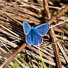 Blue Butterfly  by Andicurrie
