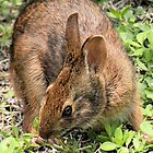 Wild Brown Rabbit by Rosalie Scanlon