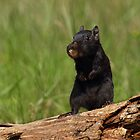 Black (Melanistic) Chipmunk by Bill McMullen