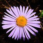 Lilac Daisy.  by sarnia2