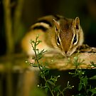 Chipmunk by Sean McConnery