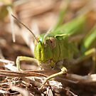 Common Green Grasshopper by Jon Lees