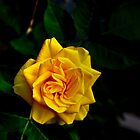 Yellow Rose by ChrissyImages