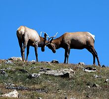 Two Male Elk Stags by saxonfenken