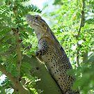 Sonoran Spiny-tail Iguana  ~ Juvenile by Kimberly Chadwick